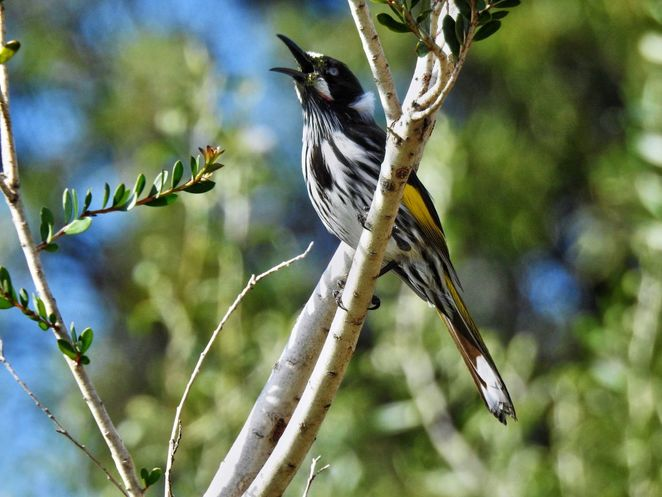 National Trust, parks, reserves, south australia, Adelaide Hills, Adelaide, hills, trail, wildflowers, new holland honeyeater