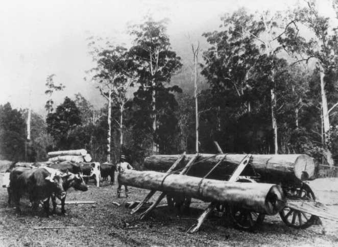 Oxen hauling timber
