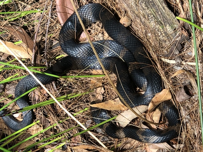Stephens Banded Snake- Bea Duffield photo