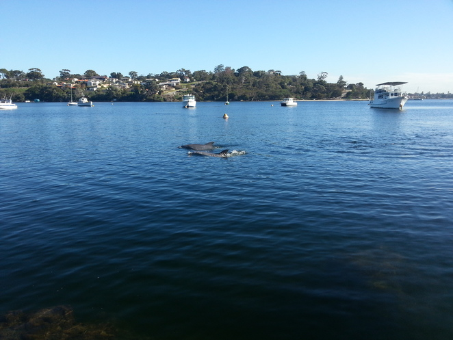 Blackwall, Reach, Point, Walter, Swan, River, Perth, Fremantle, Bicton, Bottlenose, Common, Dolphin
