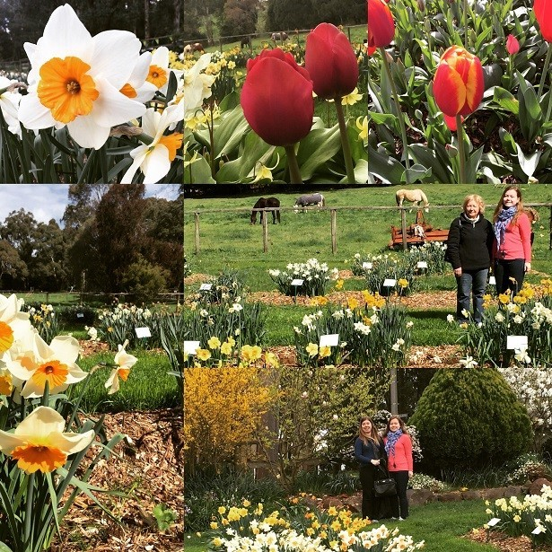 daffodils, garden, flowers, bulb, peace, mount dandenong, nature