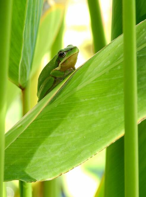 A tiny Eastern sedge frog at Mount Coot-tha