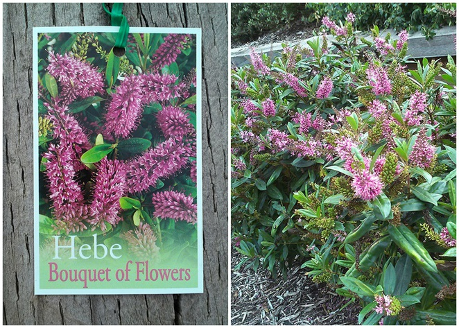 hebes, plants, canberra, cheap plants, bunnings, plant nurseries, ACT, hardy plants,
