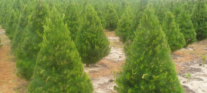 Image Courtesy of the Valley Christmas Tree Farm website