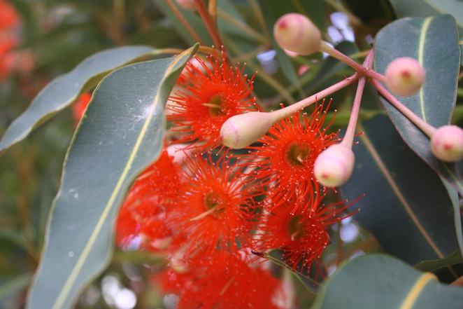 The glorious Red Flowering Gum (Eucalyptus ficifolia, now reclassified as Corymbia ficifolia).