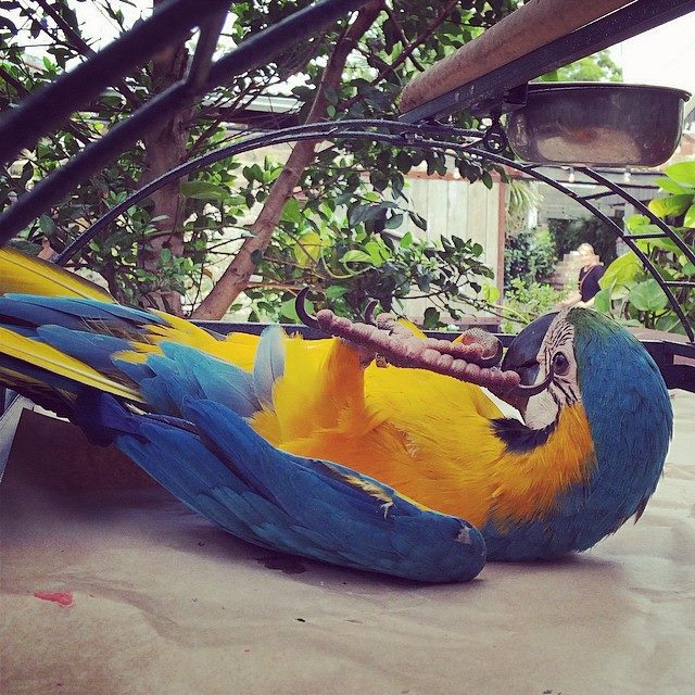 macaw, parrot, bird, the potting shed, fluffy, the grounds, alexandria