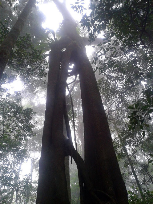 Twin trees in rainforest section of the hike