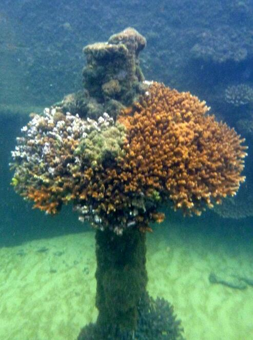 Coral growing on one of the Tangalooma shipwrecks on Moreton Island