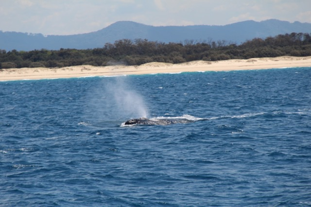 Whales in Paradise, Whales in Paradise Gold Coast, Things to do Gold Coast, Things to see Gold Coast, Whale watching Gold Coast, Gold Coast whale watching, What's on Gold Coast, see whales Gold Coast, whale watching in Australia, best things to do Gold Coast