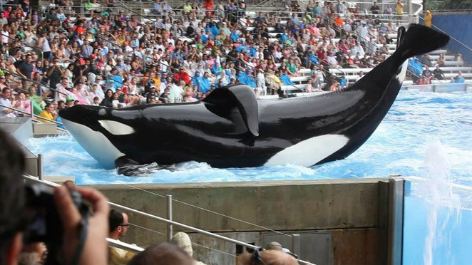blackfish, documentary, film, killer whale