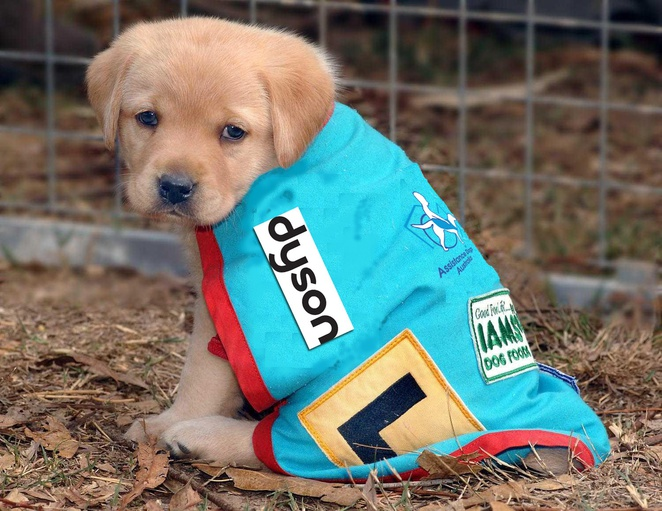 Dyson -assistance puppy in training, Assistance dogs Australia.