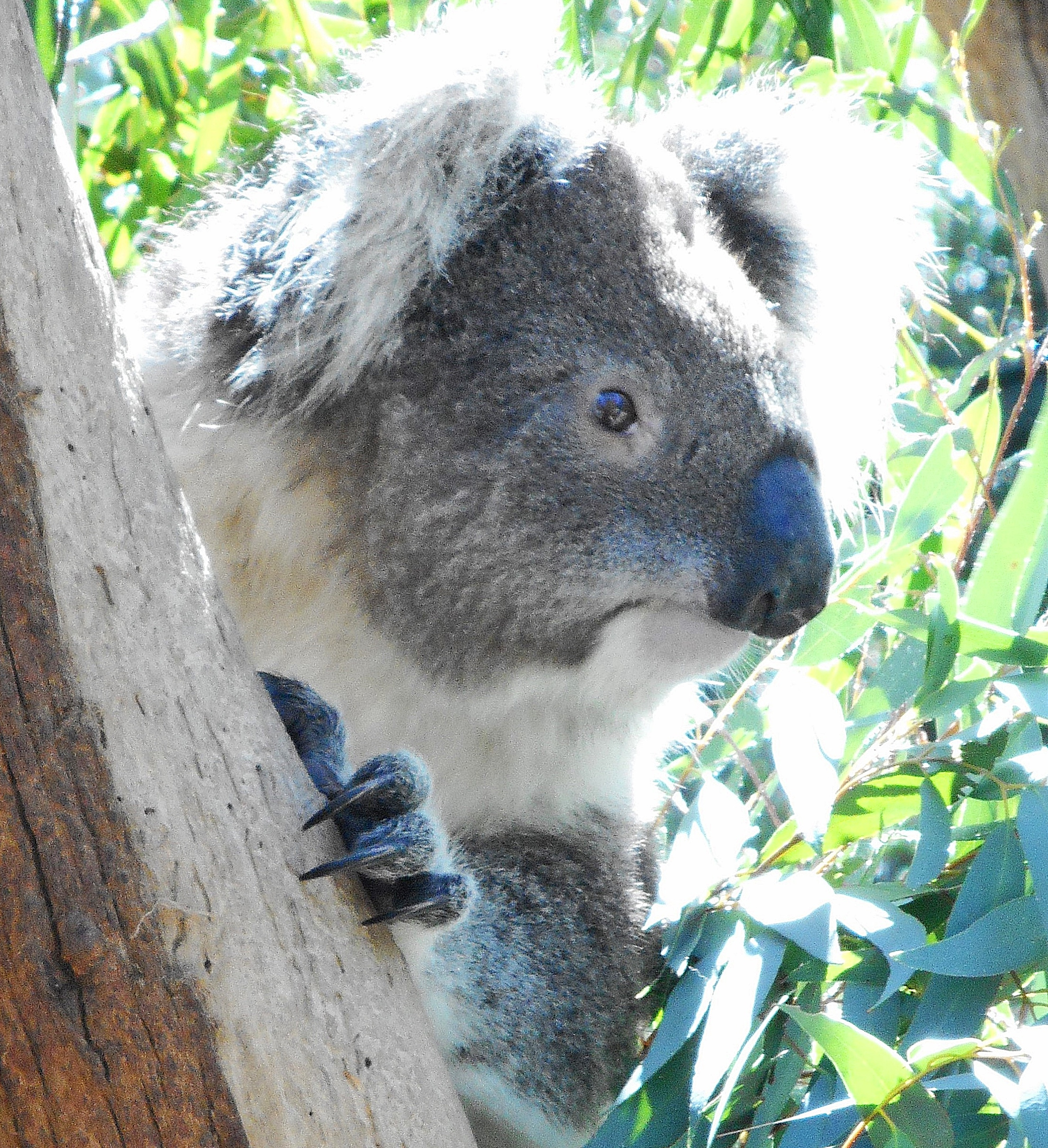 Top 3 places to see aussie animals in the wild canberra koalas kangaroos where to see kangaroos in the wild tidbinbilla nature park sciox Gallery