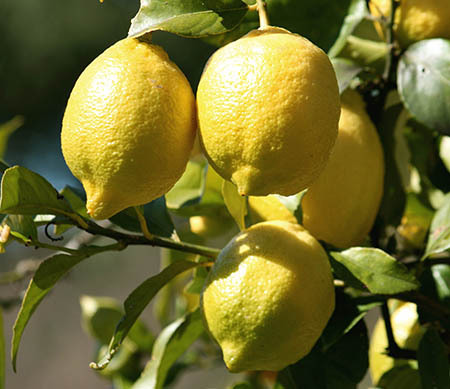 lemons,garden,tree,fruit,produce
