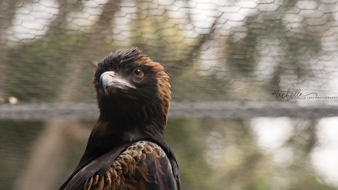 michelle lake, eagle, gorge wildlife park, adelaide