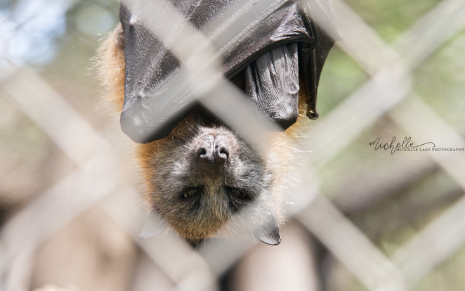 michelle lake, flying fox, gorge wildlife park, adelaide
