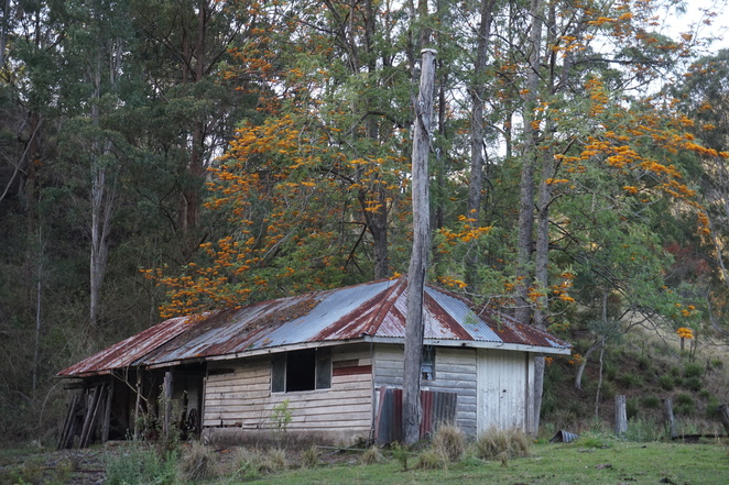 Old cow bails with Flowering Silky Oak trees