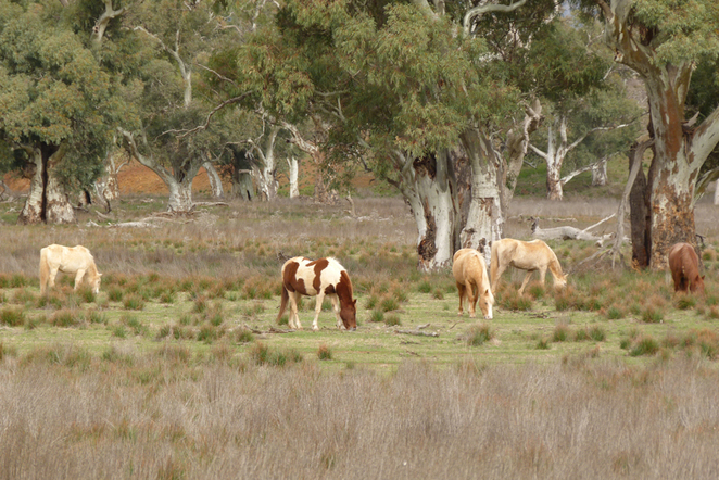 South Australian wildlife, South Australian tourism, Wildlife photography, Flinders Ranges, Moralana Trail, horses grazing