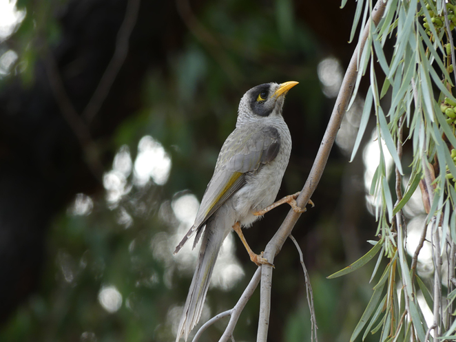 South Australian wildlife, South Australian tourism, Wildlife photography Wildlife stories, Bonython Park, Playground, noisy miner