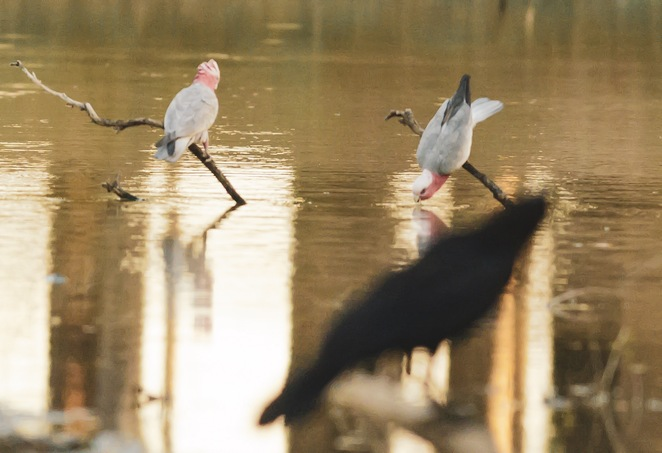The galahs reaching upside down for a drink