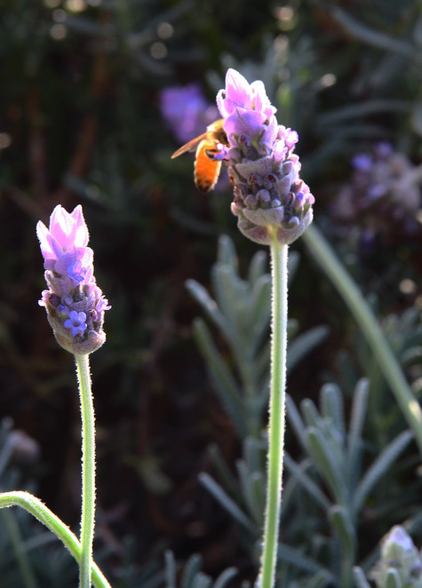 bee on lavender.