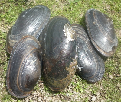 Freshwater Mussels or Clams