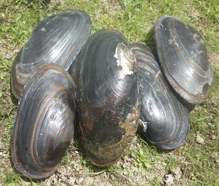 Freshwater Mussels or ClamsFreshwater Mussels