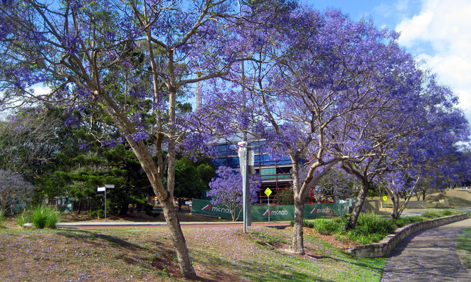 Jacaranda at the University of Queensland