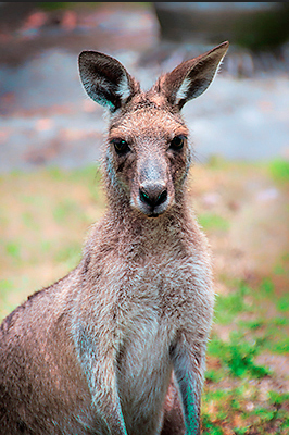 kangaroo, wildlife, nature,