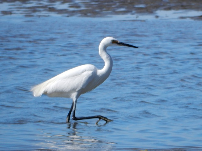 little egret, Bushland Beach, Townsville, beach, Queensland, egret,