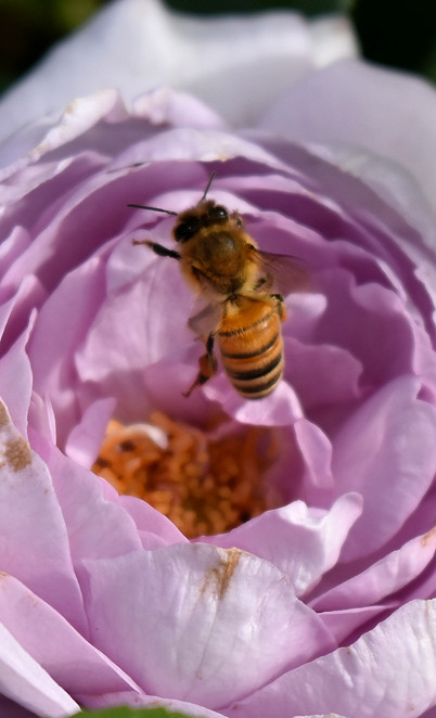 Purple rose and Bee