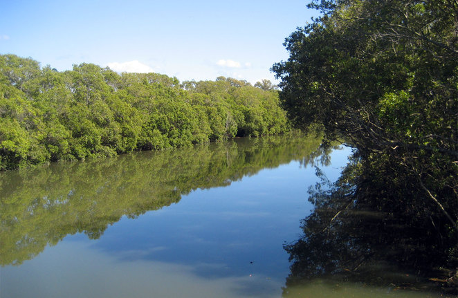 Enoggera Creek is lined with mangroves
