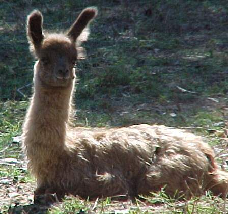cria,at,one,day,old