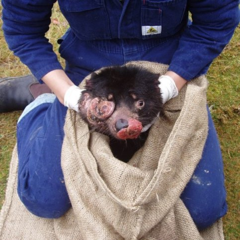 DTFD on eyes and mouth of tasmanian devil