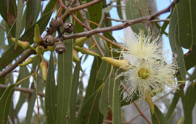 eucalyptus, flying foxes, Australian plants