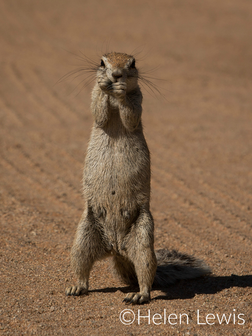 Namibia squirrel