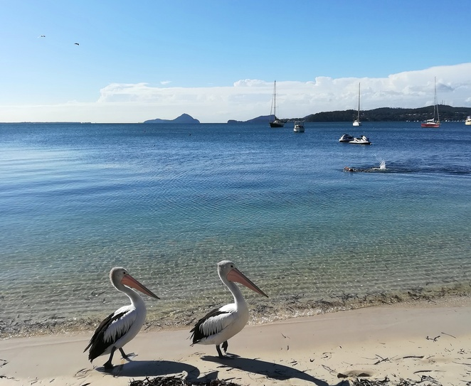 soldiers point, port stephens, NSW, things to do, pelicans, views, salamander bay, wanda beach, bays, beaches, wildlife, australia, tomaree mountain, pelicans, bird species,