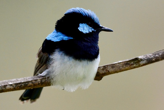 A male superb fairy wren enjoying the safety of a small tree
