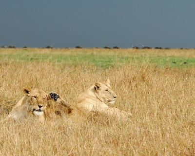 Lions by Celine