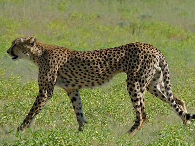 cheetah, crowd funded science, gift ideas for science lovers, cheetah disease