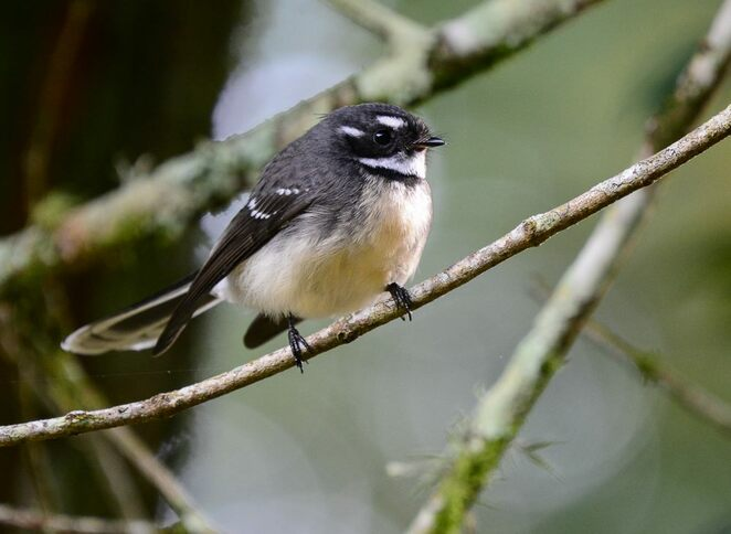 A grey fantail in New South Wales' Gondwana Rainforest