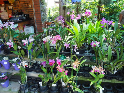 Orchids, Garden Gems, flowers, plants, nursery
