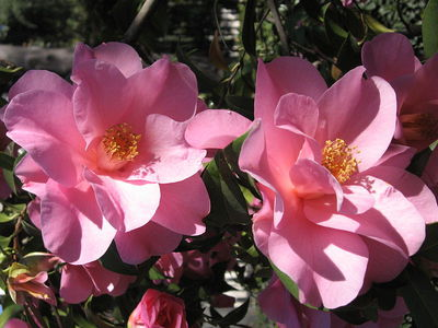pink camellia, meaning of flowers, valentines day