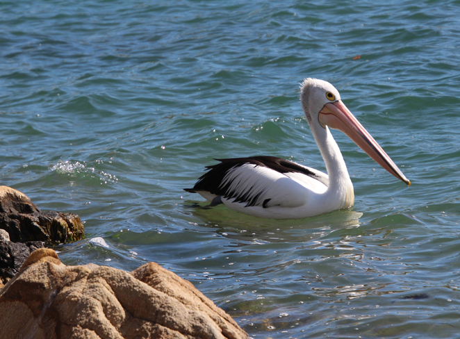 South Australian wildlife, South Australian tourism, Wildlife photography Wildlife stories, West Lakes, Australian birds, marine life, pelican