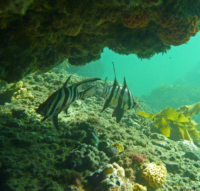 South Australian wildlife, wildlife photography, South Australian tourism, Adelaide tourism, Adelaide wildlife, South Australia nature, Myponga Beach, underwater, old wives