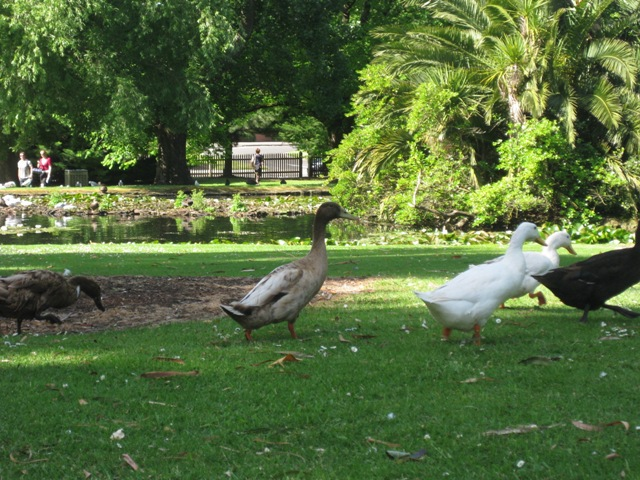 Warrnambool Botanic Gardens Ducks