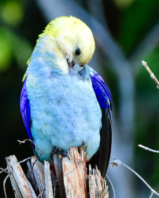 Colourful parrots, such as this pale headed rosella, and other birds are at home in the natural environment around Aunty Alice's Cafe
