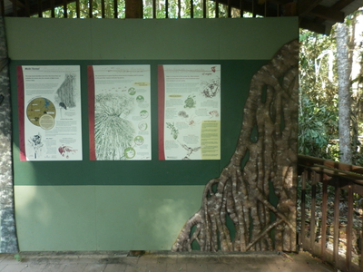 Curtain Fig Tree Information