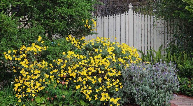 daisies and fence.