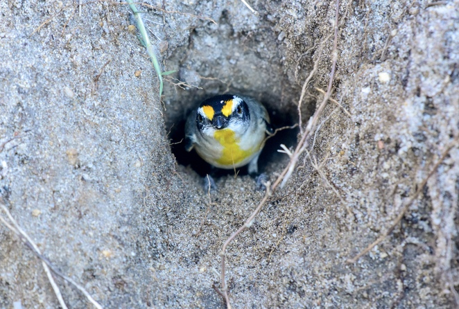 A striated pardalote nesting between campsites and Lake Cootharaba at Habitat Noosa