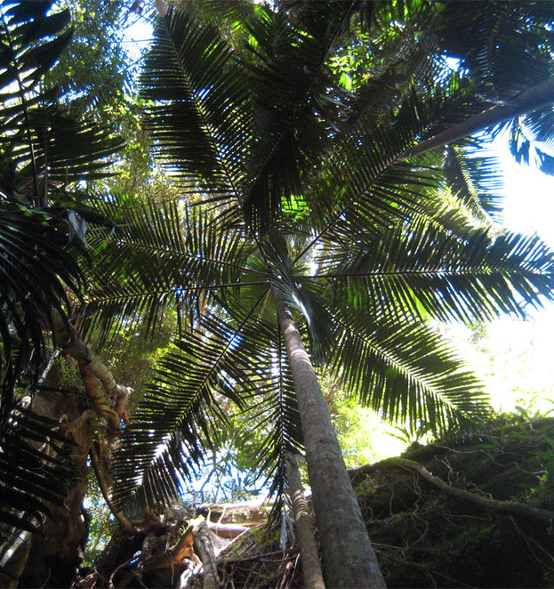 Palm Tree on the Lower Ballanjiu Falls Track
